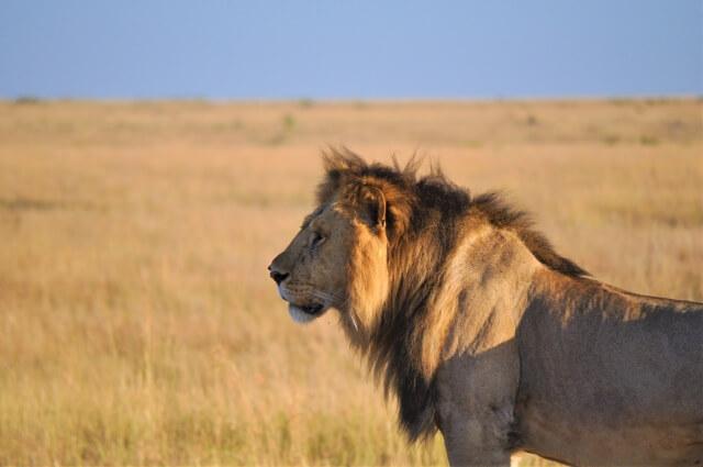ライオン キング 実写